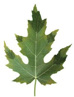 علائم کمبود فسفر در گیاهان