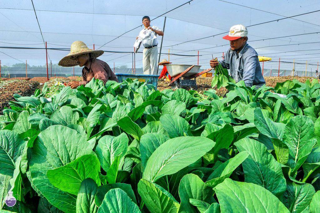 کاربرد آهک هیدراته در کشاورزی