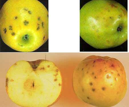 کمبود کلسیم در سیب