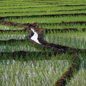 کوددهی برنج گندم و ذرت