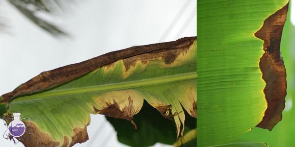 اثر کمبود پتاسیم در درخت موز