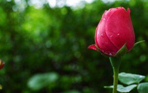 کاربرد بوراکس در کشاورزی برای حفاظت از گل ها