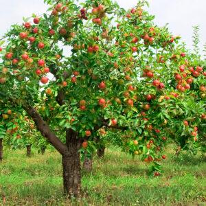 کاربرد بوراکس در کشاورزی برای میوه ی درختان