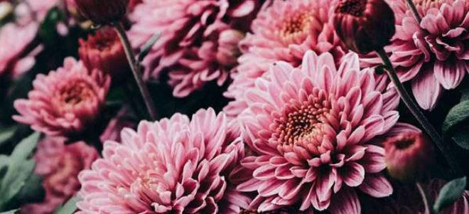 گل داوودی و تصفیه ی هوای خانه