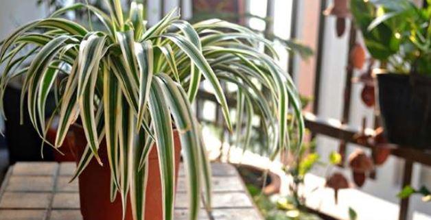 گیاه عنکبوتی و تصفیه ی هوای خانه