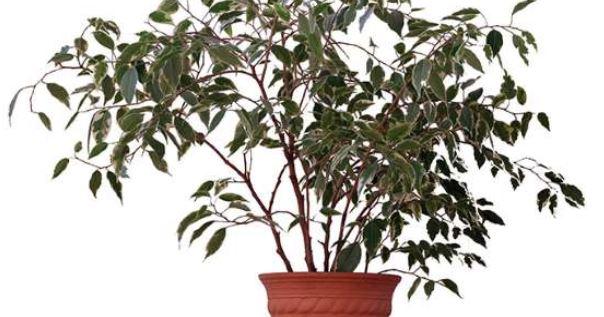 گیاه فیکوس بنجامی و تصفیه ی هوای خانه