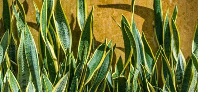 گیاه ماری و تصفیه ی هوای خانه