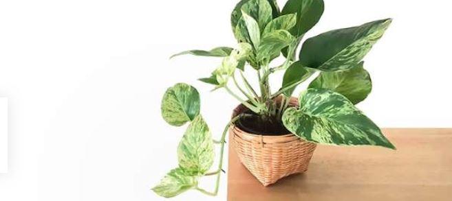 گیاه پتوس و تصفیه ی هوای خانه