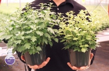 آثار کمبود سولفور در گیاه