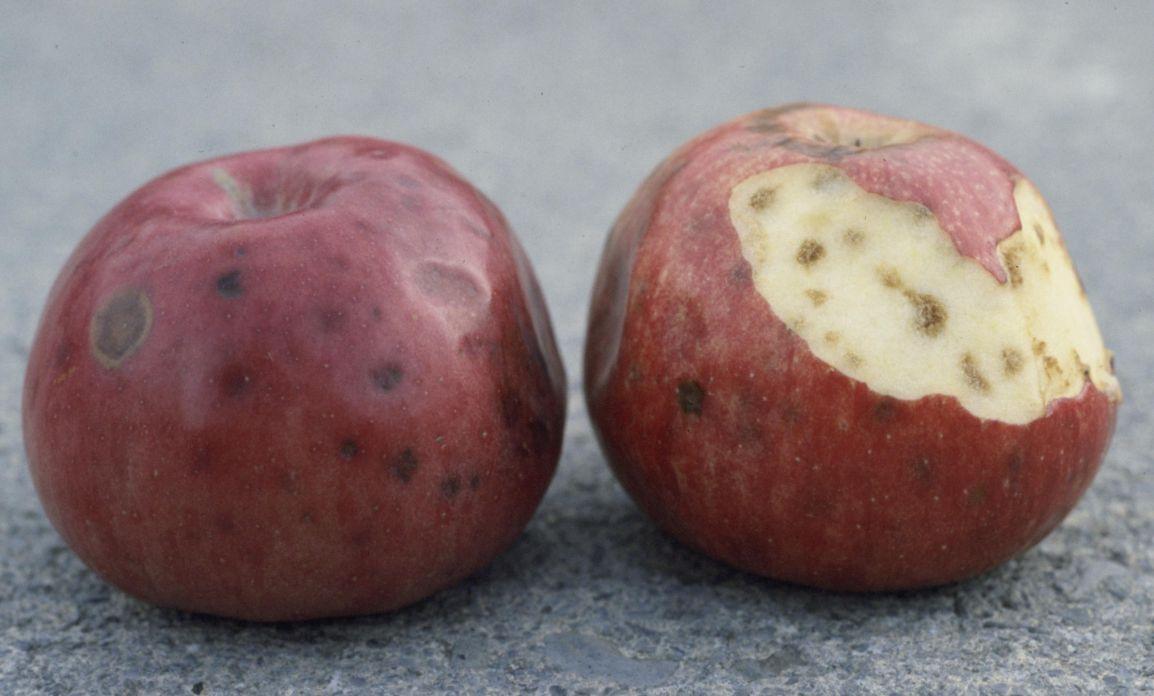 علائم کمبود در سیب