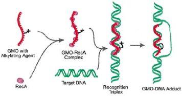 مراحل انتقال ژن