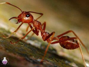 اسید مورچه