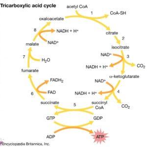 چرخه اسید سیتریک چیست؟