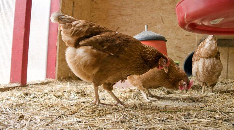 ضد عفونی نمودن مرغداری ها با آلدهید