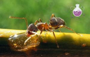 جوهر مورچه چیست؟