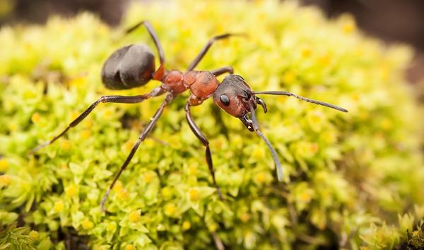 کاربرد جوهر مورچه