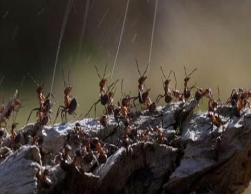 تولید جوهر مورچه جهت دفاع از خود